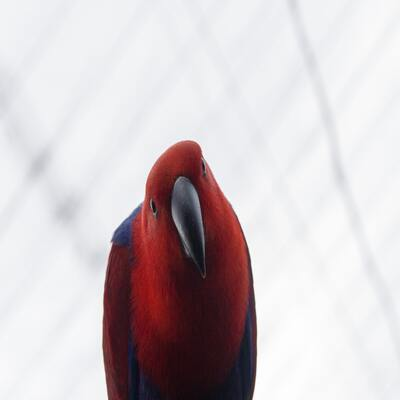 Un pájaro rojo mirando curiosamente